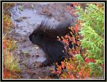 Title: Porcupine from north of