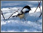 Title: Black-capped chickadee  in the snow