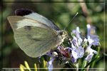Title: Butterfly on flower of thym