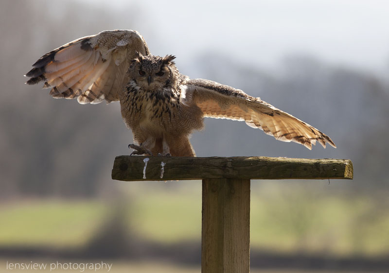 Horace the European Eagle Owl