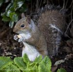 Title: Grey Squirrel Hyde Park