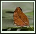 Title: Autumn Leaf Butterfly