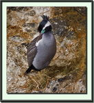 Title: Spotted Shag