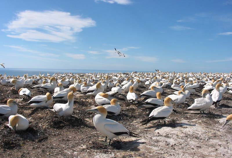 Gannet Colony #2