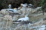 Title: Gannet Colony Cape Kidnappers