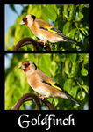Title: More Goldfinch