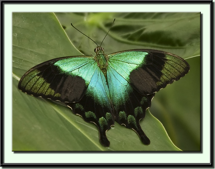 Papilio peranthus: Thank You Heinz