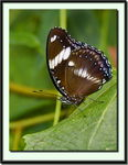 Title: Great Egg-Fly Butterfly