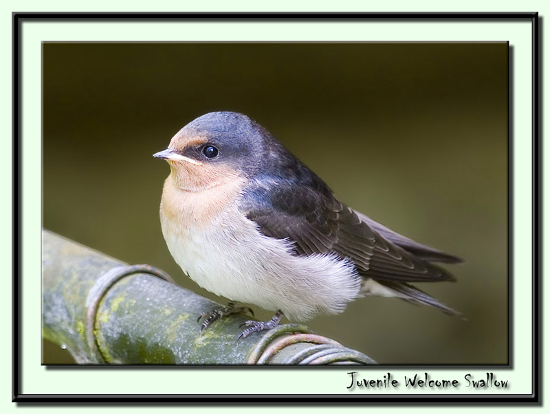 Juvenile Welcome Swallow