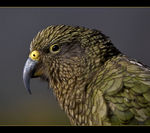Title: New Zealand's Mountain Parrot