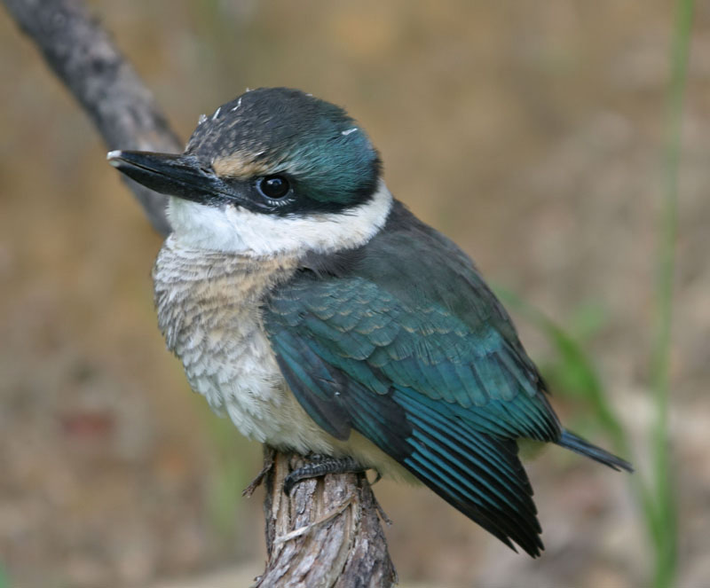 100th Post - Kingfisher Chick