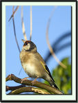 Title: Goldfinch In Canton Lace TreeCanon EOS 20D