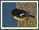 Title: Yellow Breasted Male Tomtit