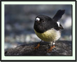 Title: South Island Tomtit