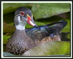 Title: Mr Wood Duck