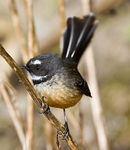 Title: New Zealand Fantail