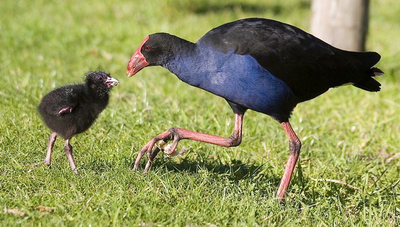Pukeko Mother and Chick