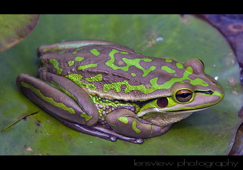 Treknature Handsome Prince Southern Bell Frog Photo