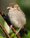 Title: House Sparrow Chick