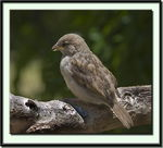 Title: Sparrow Chick
