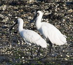 Title: Royal Spoonbill - Over Exposed :-(Canon EOS 10D