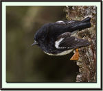 Title: New Zealand Tomtit (Male)