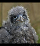 Title: New Zealand Falcon Chick