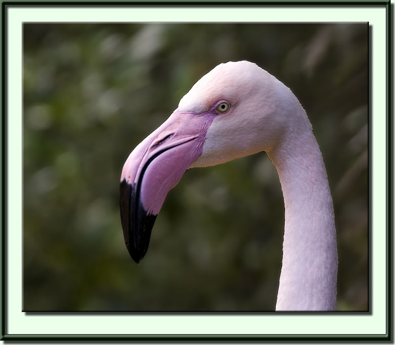 Pictures Of Greater Flamingo - Free Greater Flamingo pictures
