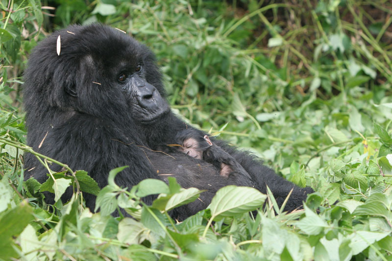 Gorilla mother and baby