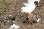 Title: Hyena in mud