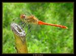 Title: Orange dragonfly 3Sony Cybershot DSC P7