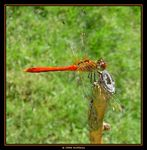 Title: Orange dragonfly 2Sony Cybershot DSC P7