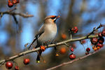 Title: waxwing