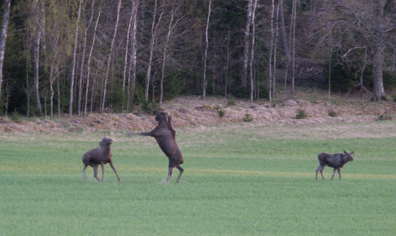 Female moose rejects her lastyears calf