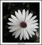 Title: white_daisy_1
