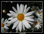 Title: white_daisyCanon Power Shot A530