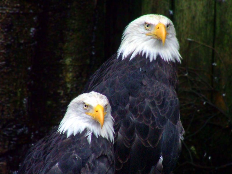Bald Eagles of Ketchikan