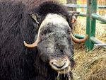 Title: Mighty Musk Ox