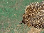Title: short-beak echidna pokes aroundSony Cybershot