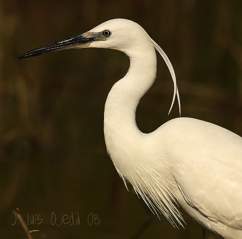 Picture of Little Egret