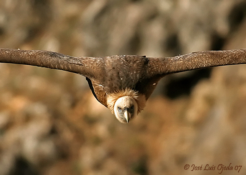 The glance of the vulture