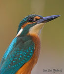 Title: Common Kingfisher. Thanks to all