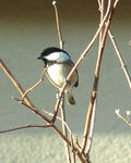 Title: Chickadee Looking Cute