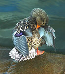 Title: Mallard Playing Shy