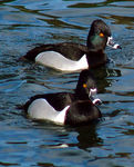 Title: Ring Necked Ducks 1