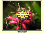 Title: Spiny Orb Weaver