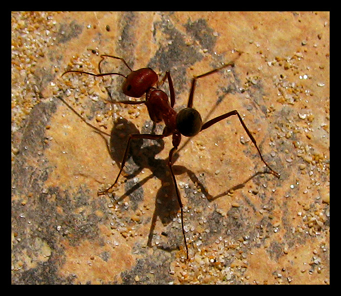 TrekNature | Big Red Ant Photo