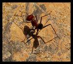 Title: Big Red Ant