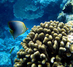 Title: Eastern Triangle butterflyfish