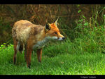 Title: The Red Fox Camera: Canon EOS 40D